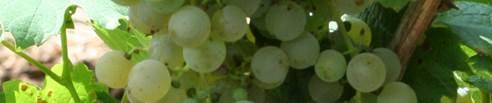 Cabernet Blanc Rebe
